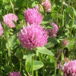 Red Clovers – Trifolium pratense. Blossoms can be eaten ...